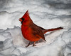 Thank God we're done with snow...for now (Fred Roe) Tags: nikond7100 nikkorafs80400mmf4556ged nikonafsteleconvertertc14eii nature wildlife birds birding birdwatching birdwatcher cardinal cardinaliscardinalis peacevalleypark