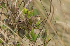 Grasshopper Warbler (Ponty Birder) Tags: g b wheeler pontybirder garywheeler wales birds warbler
