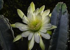 Large Night Blooming Cactus Flower In The Light (Bill Gracey 18 Million Views) Tags: fleur flower flor cactus cactusflower large nightbloomingcactus offcameraflash lastoliteezbox softbox ambientlight backlit backlighting yongnuo yongnuorf603n lakeside garden