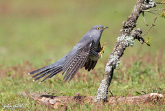 Cuckoo (johnthistle) Tags: cuckoo canon 1dx thursleycommon bird perch branch stick flight