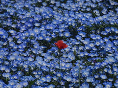 Lonely Poppy 一人ぽっちケシ (Shutter Chimp: Im back!) Tags: japan ibaraki hitachi hitachinaka seaside park ひたちなか ひたち海浜 日本 茨城 公園 blue flower nemophila 花 ネモフィラ 海浜公園 ケシ poppy 赤い 赤 red