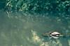 Schildkröte (0berfoerster) Tags: schildkröte tier waldsee bad rappenau