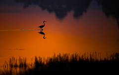 Great Egret Silhouette (nikunj.m.patel) Tags: greategret silhouette nature wild wildlife bird birds avian outdoor nikon naturephotography beauty sunrise goldenhour shadows darkness light marsh chincoteague wildliferefuge