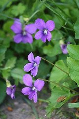 Adventures in My Yard (kmargavage) Tags: purple blue violet viola sororia