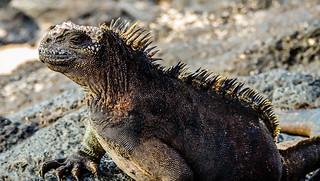 Marine Iguana-1859