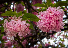 Sakura (Cherry Blossom), at Shinjuku Gyoen (Ray in Manila) Tags: japan shinjukugyoen tokyo eos650d ef50mm flower blossom cherryblossom pink green plant fauna tree prunus