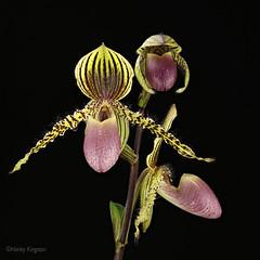 Paphiopedilum Transvaal (Harlz_) Tags: paphiopedilumtransvaal paphiopedilum hybrid orchid slipper