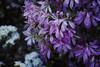 Azalea (Lillakanarie) Tags: azalea flowers tokyo japan sigmadp3quattro