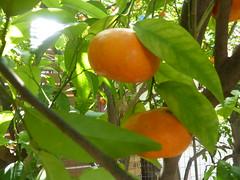 Μανταρίνια!!  P1040924 (amalia_mar) Tags: 7dwf flora fruits mandarin tangerine green orange tree garden weeklythemes double sundaylights
