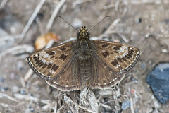 Dingy Skipper (Tim Melling) Tags: erynnistages dingy skipper south yorkshire timmelling butterfly