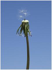 Times up (Brian Legg) Tags: hydehall gardens poppies dandelions wpg oldleggey