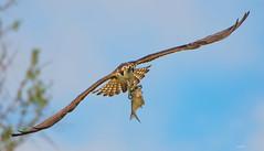 The Predator (agnish.dey) Tags: birding bird birdsofprey birdwatching osprey florida flight wildlife wings wingspan fish blue sky nature naturallight naturephotograph nikon tree