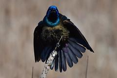 SatanicGrackle2 (Rich Mayer Photography) Tags: grackle grackles bird birds avian nature perch nictitating membrane wild life wildlife animal animals nikon