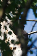 Zwarte specht/Black woodpecker (Dryocopus martius) (gipukan (rob gipman)) Tags: 177a5306 zwarte spechtblack woodpecker dryocopusmartius eos 5d4 5dmarkiv canon300lis4 canon14x bos pan amersfoort netherlands spring nest