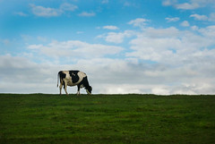 Outstanding in her field (Greg Adams Photography) Tags: cow field sky clouds wales unitedkingdom travel grass farm alone eating hhsc2000 fall 2016 blue black white
