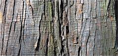 Tree bark, Sleepy Hollow, New York (Small Creatures) Tags: anamorphic anamorphiccloseup cinemascope d60 bark cemetery iscorama iscoramacloseup isco nikkorh85mm nikond60 tree texture sleepyhollow widescreen