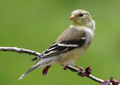 Yellow Finch (mbisgrove) Tags: bird a99m2 finch a99ii yellow sal70400g2 sony
