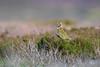 Golden Plover Calling (www.andystuthridgenatureimages.co.uk) Tags: plover golden male call calling moor moorland heather yorkshire dales uk wader