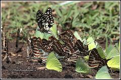 7862 - mud puddling (chandrasekaran a 50 lakhs views Thanks to all.) Tags: spotswordtail butterfly insects india nature karnataka kabini canoneos6dmarkii tamronsp150600mmg2 emigrants