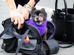 6Q3A2569 (www.ilkkajukarainen.fi) Tags: newyork nykki bigapple isoomena visit visitnewyork dog street koira anial eläin ystävä happy life travel traveling