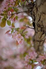 Spring (l i v e l t r a) Tags: spring season blossom crabapple may flower tree bark wood f12 df
