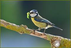N° 964 / Mésange bleue ( Cyanistes caeruleus ) Focus Distance : 4.47 m (Norbert Lefevre) Tags: passereau chenille oiseau perchoir nichée mésange bokeh nikon d500 200500mmf56