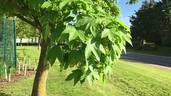 Sycamore (Acer pseudoplatanus) - leaves & flowers - May 2018 (Exeter Trees UK) Tags: sycamore acer pseudoplatanus leaves flowers may 2018