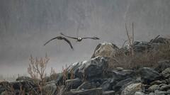 Foggy Morning (blackwell.tina) Tags: eagles dam rocks birdsofprey raptors foggy conowingodam conowingo baldeagles baldeagle