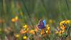 Spring feelings... (ej - light spectrum) Tags: butterfly schmetterling spring frühling wiese meadow blumen flowers makro macro olympus omd em5 mzuiko mai may 2018 switzerland schweiz svizzera suisse blume insekt insect
