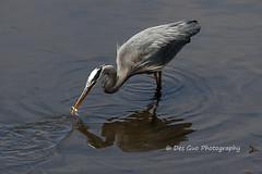 Great Blue Heron (PhotoDG) Tags: greatblueheron heron bird birding 大藍鷺 wildlife fishing ef70200mmf4lisusm