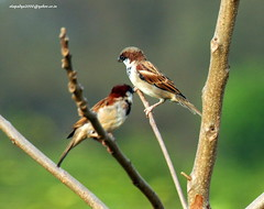 IMG_4276 House Sparrow (Passer domesticus) (vlupadya) Tags: greatnature aves fauna indianbirds house sparrow passer kundapura karnataka