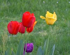 Springtime flowers: Tulips (presbi) Tags: novara primavera springtime printemps fiori flowers fleur blume tulipani tulips frühling