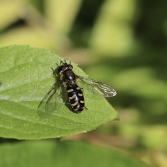 A few hours early FDF... (Kez West) Tags: hfdf diptera hoverfly spring may