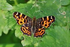 Landkärtchen (Araschnia levana f. levana), (Hugo von Schreck) Tags: hugovonschreck landkärtchen araschnialevanaflevana schmetterling falter butterfly macro makro insect insekt canoneos5dsr tamron28300mmf3563divcpzda010