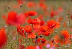 Magical Poppies ... (MargoLuc) Tags: poppies red flowers field spring bokeh green pink grass wildflowers