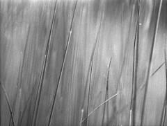 Halme (Christian Güttner) Tags: monochrome mediumformat mittelformat moerschecodeveloper minimalismus analog analogue natur nature natura ecodeveloper etrs zenzabronica schwarzweis svartvitt sw schwarzweisfotografie blackandwhite bw ilford ilfordhp5 film
