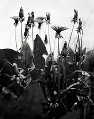 Dandelions 2 B&W (CactusD) Tags: england landscape detail flora dandelions gardening nikon d800e fx uk unitedkingdom united kingdom greatbritain great britain provia100f provia fujichrome fujifilm film 5x4 4x5 largeformat large format digitized linhof technikardan tks45 s45 schneideraposymmarmc150mmf56 schneider aposymmar 150mm f56 tilt shift tiltshift movements pce 85mmf28pce 85pce 85mm f28 bw black white blackandwhite monochrome conversion