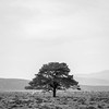 Lonely Pine (dalejckelly) Tags: canon canon70300l canon5dmarkiv landscape landscapephotography scotland scottish scenery scenic trees tree trossachs stirling stirlingshire outdoor mountains moors hills blackandwhite