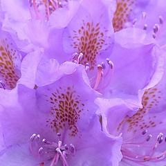 Rhododendron #3 (MJ Harbey) Tags: flower pink pinkrhododendron pinkflower plantae ericoideae rhodoreae nikon d3300 nikond3300 garden