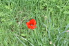 Poppy (PLawston) Tags: uk england britain east sussex border path poppy flower