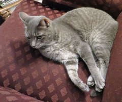 Millie 17 April 2018 9067Ri 5x6b (edgarandron - Busy!) Tags: cat cats kitty kitties tabby tabbies cute feline millie graytabby coth5