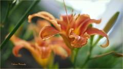 Lys orange (Une femme ...) Tags: fleur flower lys orange bokeh