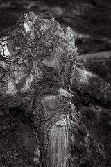 XPRO9775-Edit.jpg (imagomagia) Tags: fineart nature bnw pictureoftheday naturallight bwconversiontechnique blackandwhitephotography noiretblancblancphotographie noiretblancphotographie roots naturamorta blackandwhite fujiseries naturperfection artphoto monochrome