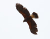 Urban Hunter -- Harris's Hawk (Parabuteo unicinctus); Catalina, AZ [Lou Feltz] (deserttoad) Tags: bird wildbird nature wildlife desert raptor flight arizona behavior hawk buteo
