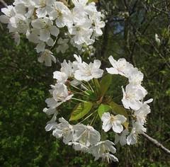 Prunus avium (Wild Cherry), flower umbels, Woodside, Hatfield, Herts, 21.4.18 (respect_all_plants) Tags: wildcherry gean prunusavium wildhill woodside hatfield herts hertfordshire wildflowers trees