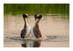 Baltsende Futen (jos.pannekoek) Tags: birds d500 200500 nikon wildlife lente spring make love