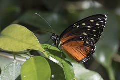 Papallona, _DSC8497_NKD500_C.E (Francesc //*//) Tags: insecto insecte insect papallona papillon butterfly natura naturaleza nature macro macrofotografia