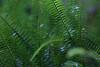 Otari-Wilton's Bush (whitebear100) Tags: ferns otariwiltonsbush wellington nz newzealand northisland 2018