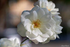 White Rose (edzwa) Tags: chatswood newsouthwales australia au rose white flower flowers closeup macroflower macro canon100mmf28lmacro