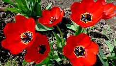 W ogrodzie - tulipany. (andrzejskałuba) Tags: polska poland pieszyce dolnyśląsk silesia sudety europe panasoniclumixfz200 roślina plant kwiat flower tulipan tulip czerwony red zieleń green garden ogród natura nature beautiful color